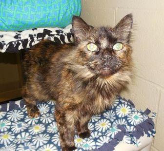 Domestic Mediumhair/Domestic Shorthair Mix Cat for adoption in Jackson, Michigan - Magic