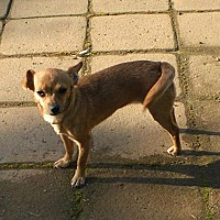 Chihuahua Mix Dog for adoption in Fresno, California - Lulu
