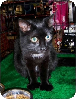 Polydactyl/Hemingway Cat for adoption in Brighton, Michigan - Bella