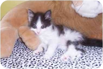 Maine Coon Kitten for adoption in Taylor Mill, Kentucky - Mercedes