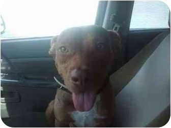 Pit Bull Terrier Mix Puppy for adoption in Hollywood, Florida - ENZOH