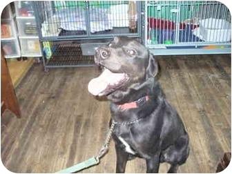 Labrador Retriever Mix Dog for adoption in Derry, New Hampshire - Bryson