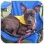 Photo 1 - Pit Bull Terrier Mix Dog for adoption in Framingham, Massachusetts - Annabelle