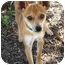 Photo 1 - Chihuahua Mix Dog for adoption in Sugar Land, Texas - Ceaser