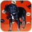 Photo 1 - Catahoula Leopard Dog Mix Puppy for adoption in Broomfield, Colorado - Lily Potter