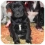 Photo 3 - Pit Bull Terrier/Labrador Retriever Mix Puppy for adoption in Salem, New Hampshire - Cagney