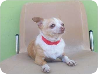 Chihuahua Mix Dog for adoption in Los Angeles, California - Cleopatra