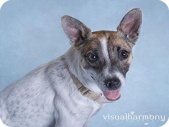 Whippet/Australian Cattle Dog Mix Dog for adoption in Phoenix, Arizona - Loretta