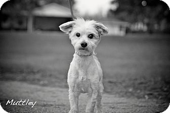 Poodle (Miniature) Mix Dog for adoption in Albany, New York - Muttley