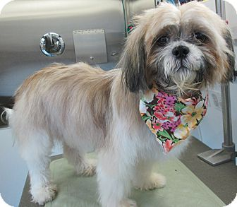 Shih Tzu Mix Dog for adoption in Forked River, New Jersey - Delilah