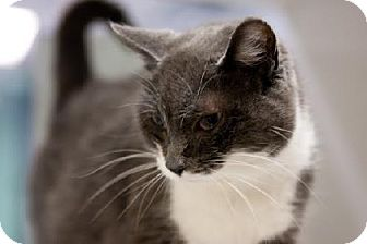 Domestic Shorthair Cat for adoption in Fort Smith, Arkansas - Flora