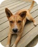 Australian Cattle Dog Mix Dog for adoption in Plainfield, Connecticut - Maltida($200 adoption fee)