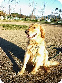 Golden Retriever Dog for adoption in Long Beach, California - Buddy