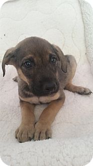 German Shepherd Dog/Labrador Retriever Mix Puppy for adoption in Chicago, Illinois - Xena