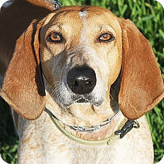 Pointer/Hound (Unknown Type) Mix Dog for adoption in Huntley, Illinois - Penny