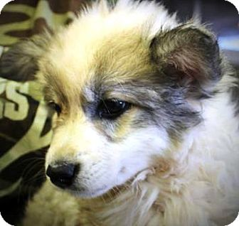 Great Pyrenees/German Shepherd Dog Mix Puppy for adoption in Oswego, Illinois - I'M ADOPTED Cabbana Jurgensen