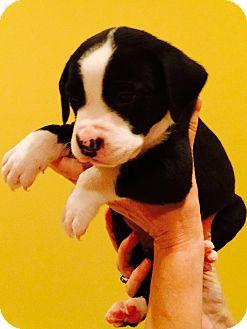 Boxer/Labrador Retriever Mix Puppy for adoption in CHICAGO, Illinois - KOBY