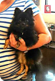 Pomeranian Puppy for adoption in Silsbee, Texas - Cricket