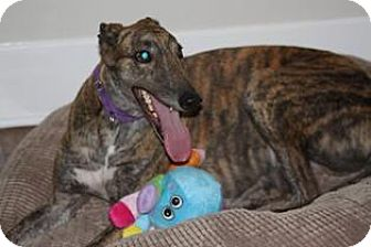 Greyhound Dog for adoption in Knoxville, Tennessee - Drake
