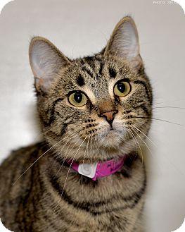 Domestic Shorthair Cat for adoption in Medina, Ohio - Tina