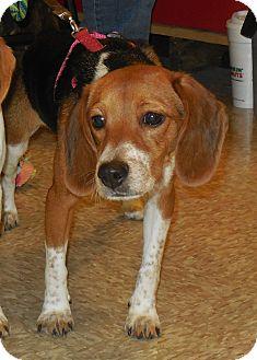 Beagle Dog for adoption in Whiting, Indiana - Cupcake
