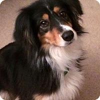 Adopt A Pet :: Chloe Belle - Austin, TX