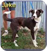 Border Collie Mix Dog for adoption in Aldie, Virginia - Jake