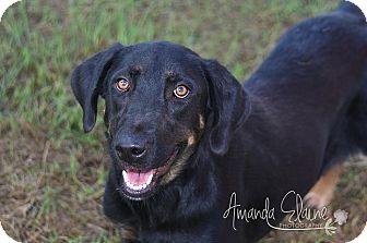 Doberman Pinscher/Shepherd (Unknown Type) Mix Dog for adoption in Pilot Point, Texas - CAMI