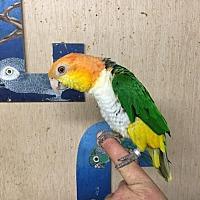Adopt A Pet :: Peepers - Woodbridge, NJ
