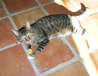 Domestic Shorthair Cat for adoption in Scottsdale, Arizona - Sven