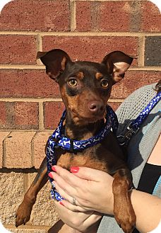 Miniature Pinscher Dog for adoption in Mount Pleasant, South Carolina - Daisy Mae