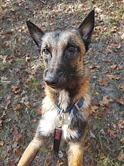 Belgian Malinois Mix Dog for adoption in Louisville, Kentucky - Ollie