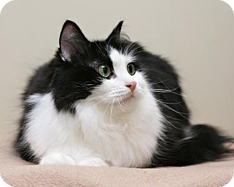 Domestic Mediumhair Cat for adoption in Bellingham, Washington - Cleo