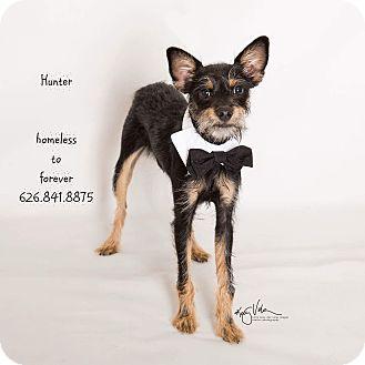 Terrier (Unknown Type, Small)/Schnauzer (Miniature) Mix Dog for adoption in Sherman Oaks, California - Hunter