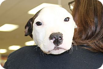 Bull Terrier Mix Puppy for adoption in Claremore, Oklahoma - Rugar