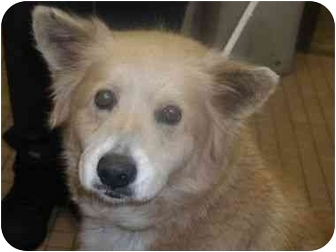 Collie/Shepherd (Unknown Type) Mix Dog for adoption in Long Beach, New York - Roxy