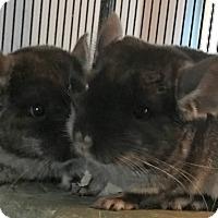 Adopt A Pet :: Cheech & Chong - Granby, CT