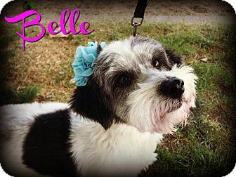 Shih Tzu/Poodle (Miniature) Mix Dog for adoption in Phoenix, Arizona - BELLE