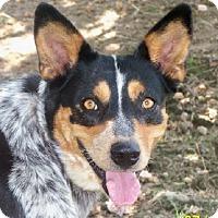 Adopt A Pet :: Abigail - Conway, AR