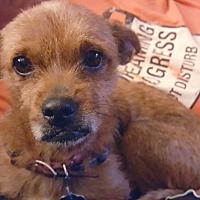 Adopt A Pet :: LuLu - Andalusia, PA
