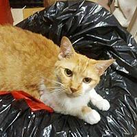 Domestic Shorthair Cat for adoption in Harleysville, Pennsylvania - Kitty2
