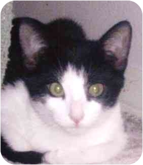 Domestic Shorthair Kitten for adoption in El Segundo, California - Tristan