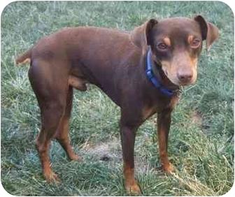 Miniature Pinscher Dog for adoption in Tracy, California - Dasher