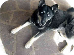 Husky/German Shepherd Dog Mix Dog for adoption in Santa Fe, New Mexico - Oracle