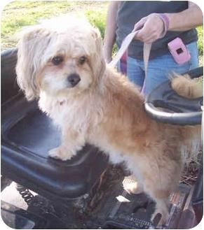 Havanese/Poodle (Miniature) Mix Dog for adoption in Sacramento, California - Beemer