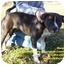 Photo 1 - American Pit Bull Terrier Mix Dog for adoption in Somerset, Pennsylvania - Margo