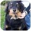 Photo 2 - Australian Shepherd/Schipperke Mix Dog for adoption in Marion, Arkansas - Abby - Urgent!!