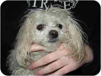 Maltese Mix Dog for adoption in San Diego/North County, California - Bones Jones