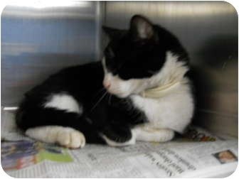 "American Shorthair Cat for adoption in MARION, Virginia - ""Felix"""