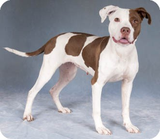 American Staffordshire Terrier/Pit Bull Terrier Mix Dog for adoption in Chicago, Illinois - Clover